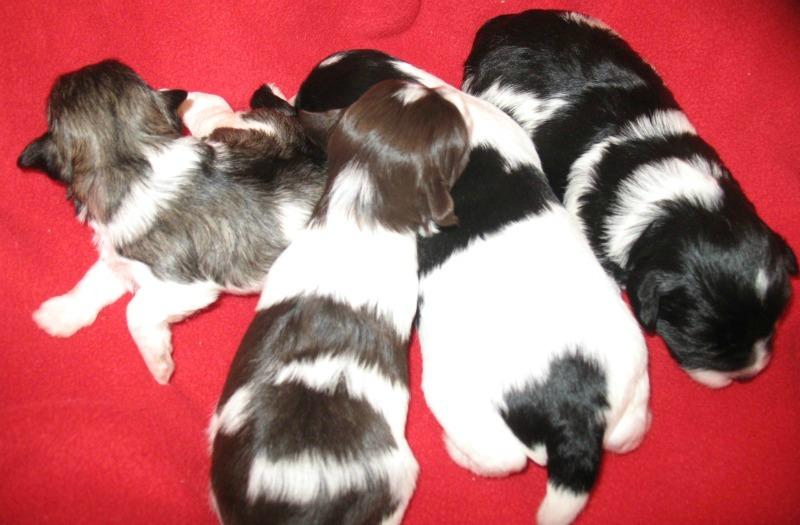 brillantly-coloured-miniature-schnauzer-puppies