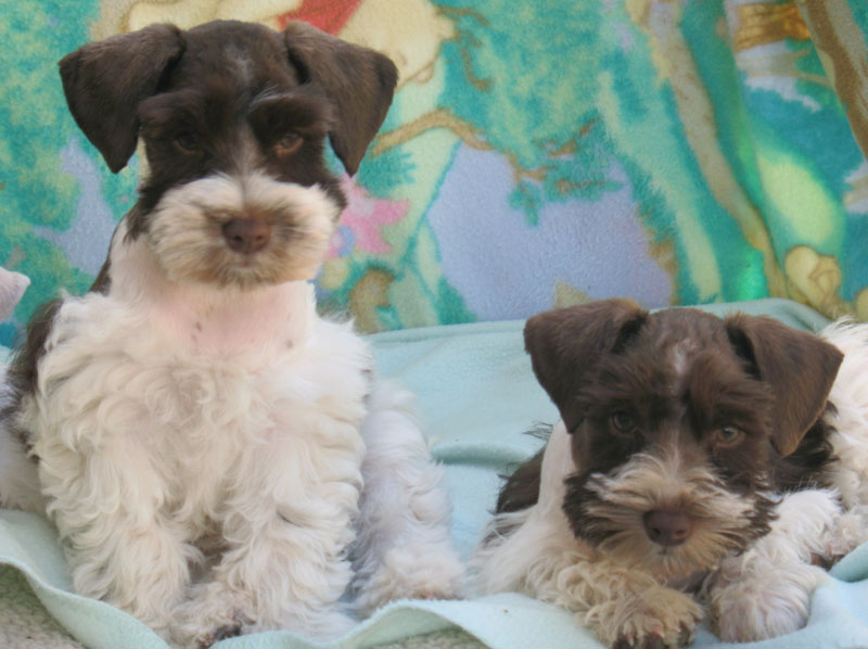 chocolate-and-white-parti-pups-006-copy
