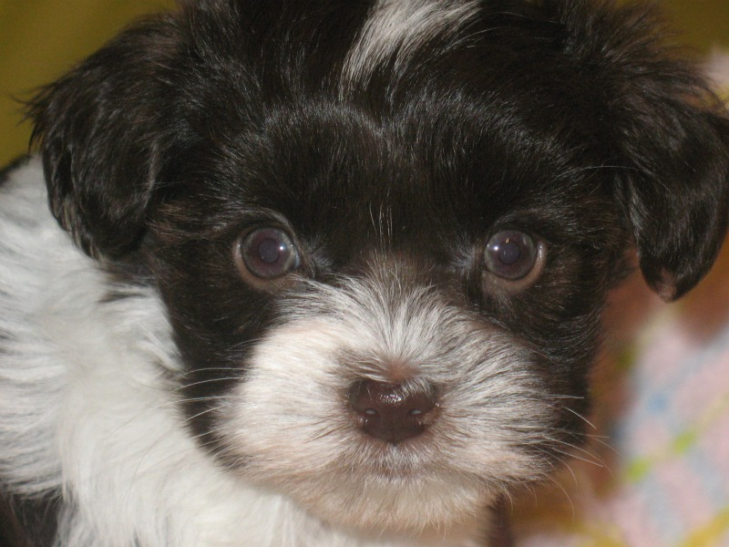 coco-puff-very-close-up-6-weeks