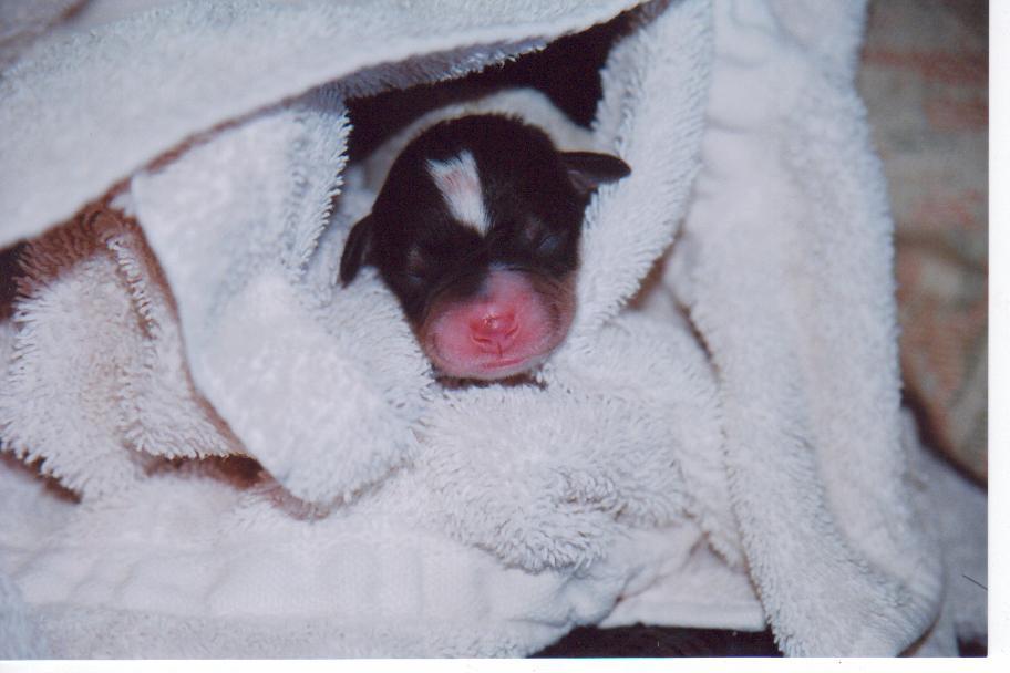 newborn-puppy-in-towel