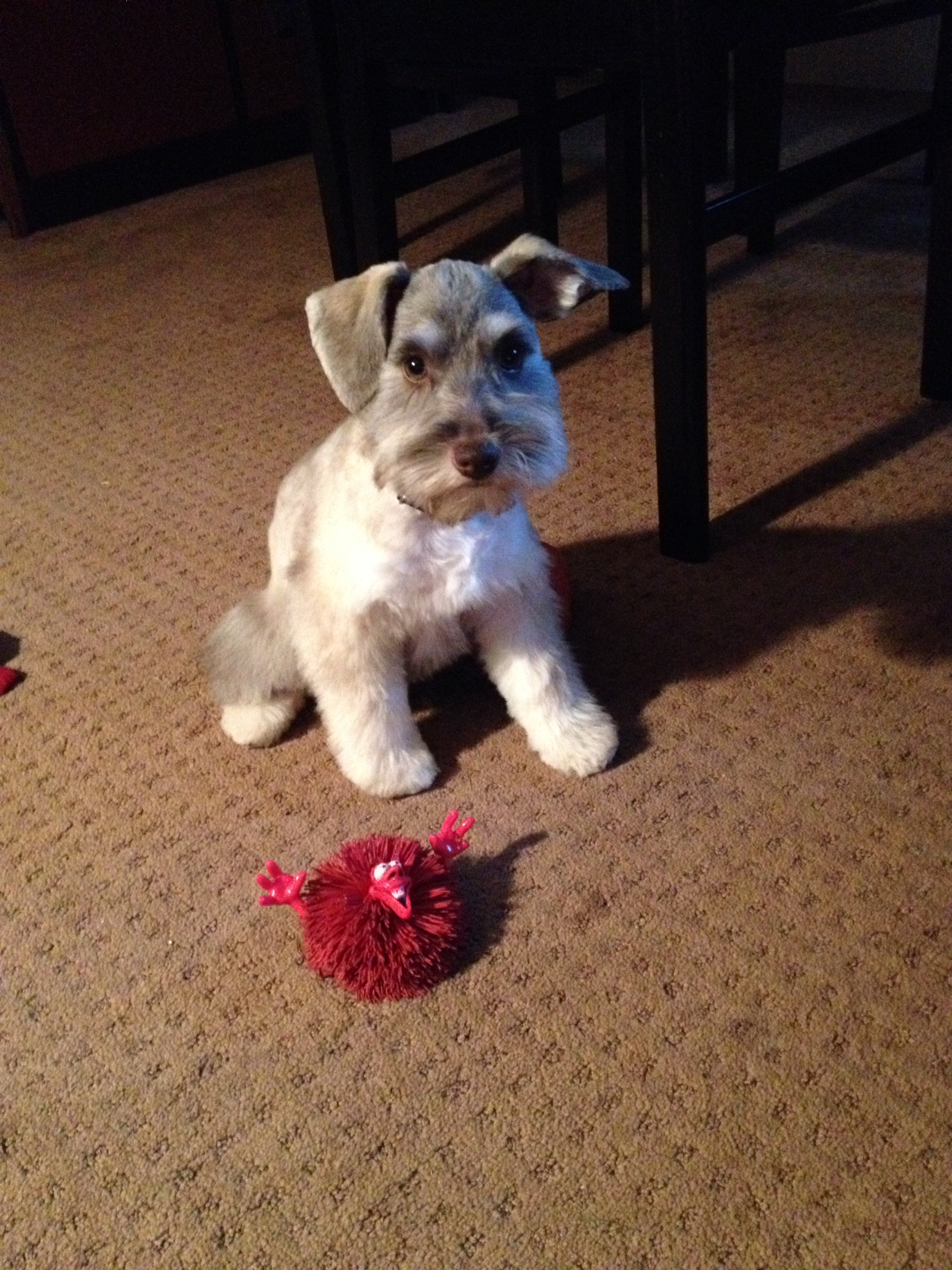 picture-of-puppy-on-carpet