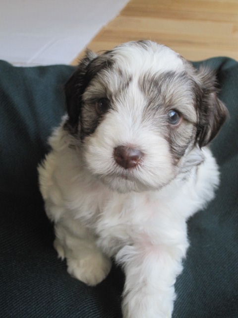 southern-cash-puppy-male4