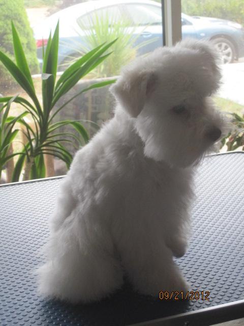 teddy-bear-schnauzer-trim