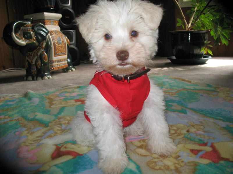 white-chocolate-puppy-copy